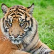 Portrait of Sumatran Tiger Panthera Tigris Sumatrae big cat — Stock Photo