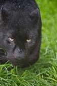 Black leopard Panthera Pardus prowling through long grass — Stock Photo