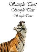 Portrait of Sumatran Tiger Panthera Tigris Sumatrae looking into — Stock Photo