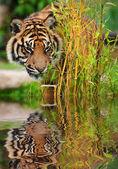 Portrait of Sumatran Tiger Panthera Tigris Sumatrae big cat refl — Stock Photo