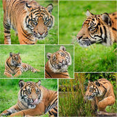 Compilation of images of Sumat5ran Tiger Panthera Tigris Sumatra — Stock Photo