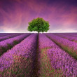 Stunning lavender field landscape Summer sunset with single tree — Stock Photo #12384650