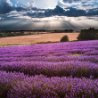 Beautiful lavender field landscape with dramatic sky — Stock Photo #12384859