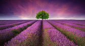 Stunning lavender field landscape Summer sunset with single tree — ストック写真