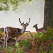 Fallow deer stag portrait in Autumn foggy morning — Stock Photo