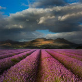 Beautiful landscpae of lavender field leading to mountain range — Stock Photo