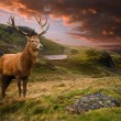 Red deer stag in moody dramatic mountain sunset landscape — Stock Photo #14394257