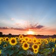 Sunflower Summer Sunset landscape with blue skies — Stock Photo #15326379