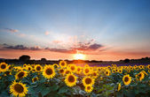 Sunflower Summer Sunset landscape with blue skies — Stock Photo