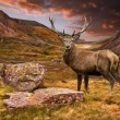 Red deer stag in moody dramatic mountain sunset landscape — Stock Photo #15692437