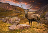 Red deer stag in moody dramatic mountain sunset landscape — Stock Photo