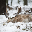 Beautiful image of Fallow Deer in snow Winter landscape — Stock Photo #19213005