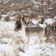 Beautiful image of Fallow Deer and red deer in snow Winter lands — Stock Photo #19213017