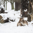 Beautiful image of Fallow Deer in snow Winter landscape — Stock Photo #19565913