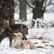 Beautiful image of Fallow Deer in snow Winter landscape — Stock Photo #19565921