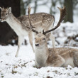 Beautiful image of Fallow Deer in snow Winter landscape — Stock Photo #19565933