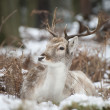 Beautiful image of Fallow Deer in snow Winter landscape — Stock Photo