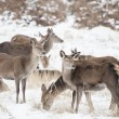 Beautiful image of Fallow Deer and red deer in snow Winter lands — Stock Photo #19565949
