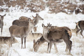 Beautiful image of Fallow Deer and red deer in snow Winter lands — Stock Photo