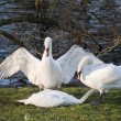 ������, ������: Mute swans display aggressive and tender behaviour during mating