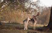 Fallow deer buck and doe in tender moment in forest landscape — Stock Photo