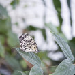 Stock Photo: Tree Nymph butterfly IdeLeuconoe