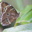 Achilles Morpho butterfly — Stock Photo #20354443