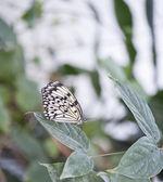 Tree Nymph butterfly Idea Leuconoe — Stock Photo