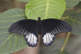 Common Mormon butterfly — Stock Photo