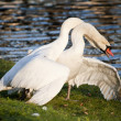 Mute swans display aggressive and tender behaviour during mating — Stockfoto