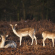 Herd of fallow deer in forest landscape - Stockfoto