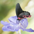 Great Mormon butterfly - Stockfoto
