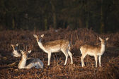 Herd of fallow deer in forest landscape — Stock Photo