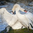 Постер, плакат: Mute swans display aggressive and tender behaviour during mating