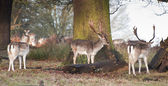 Fallow deer bucks in forest landscape — Stock Photo