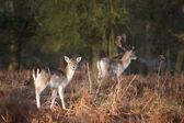 Herd of fallow deer in forest landscape — Stock Photo