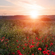 Poppy field landscape in English countryside in Summer sunset — Stock Photo #21944233