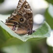 Achilles Morpho butterfly — Stock Photo #21944365