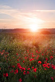 Poppy field landscape in English countryside in Summer sunset — Stock Photo
