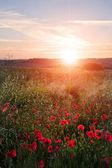 Paisagem de campo de papoulas no campo inglês no pôr do sol de verão — Fotografia Stock