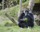 Female Western Gorilla eating — Stock Photo