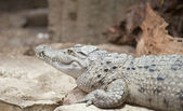 Philippine Crocodile Crocodylus Mindorensis — Stock Photo