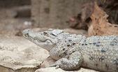 Philippine Crocodile Crocodylus Mindorensis — Stock Photo