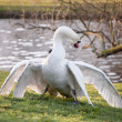 Mute swans display aggressive and tender behaviour during mating - Stock Photo