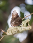 Common Crow butterfly Euploea Cora — Stock Photo
