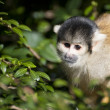 Boliviblack capped squirrel monkey, Saimiri Boliviensis Boliv — Stock Photo #22630577