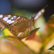 Stock Photo: Malay Lacewing butterfly