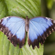 Blue Morpho butterfly — Stock Photo #22630697