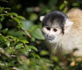 Bolivian black capped squirrel monkey, Saimiri Boliviensis Boliv — Stock Photo