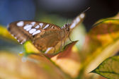 Malay Lacewing butterfly — Stock Photo